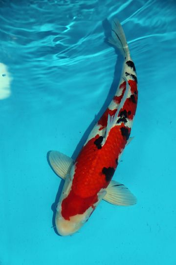 "Sanke-Koi For Sale 18"" 0077"